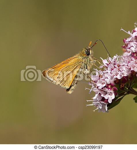 Small Skipper Buttterfly. - csp23099197