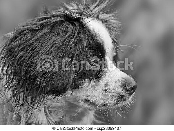 Collie Cross dog - csp23099407