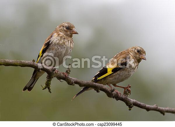 Goldfinch (Juvenile) - csp23099445