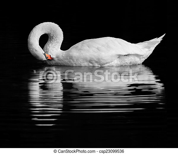 Swan reflection - csp23099536
