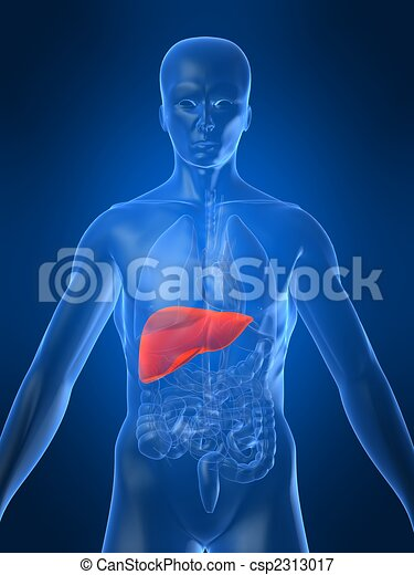 highlighted liver - csp2313017