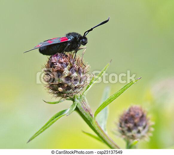 Burnet Moth - csp23137549