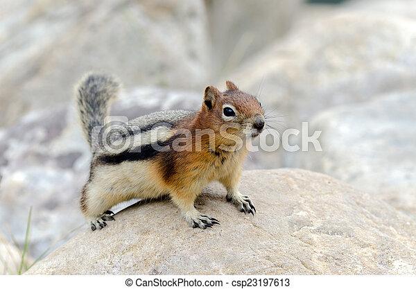 Squirrel Chipmunk - csp23197613