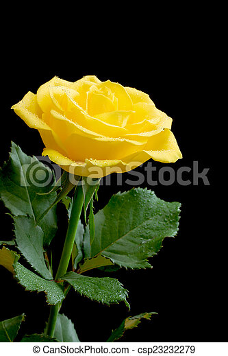 Picture of Beautiful yellow rose on black background ...