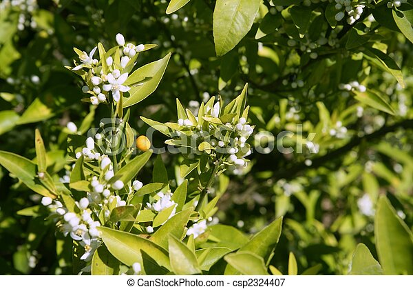 Orange tree flowers during spring - csp2324407