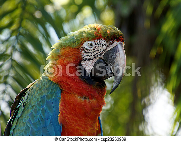 Tropical Bird - Harlequin Macaw