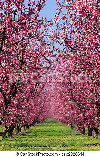Cherry Orchard in Spring - csp2328644
