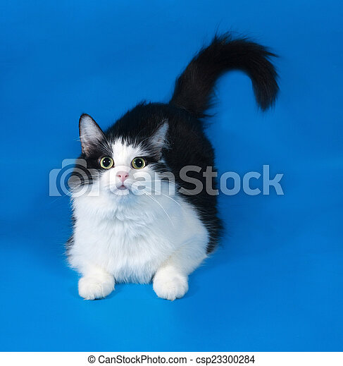 Thick fluffy black and white cat lying on blue