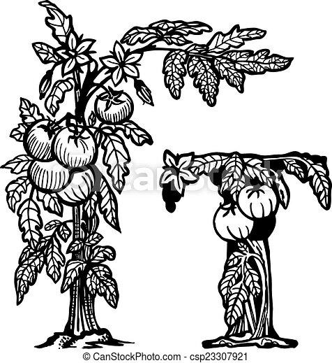Illustration vecteur de tomate brunch litera t buisson tomates fleurs baies - Dessin de tomate ...
