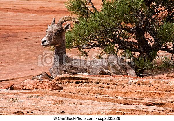 Resting Big Horn Sheep  - csp2333226