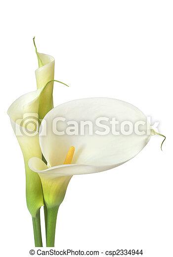 White Calla Lilies - csp2334944