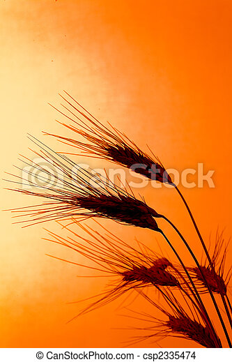 Corn field with barley before sunset - csp2335474