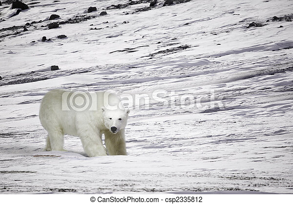 Polar Bear - csp2335812