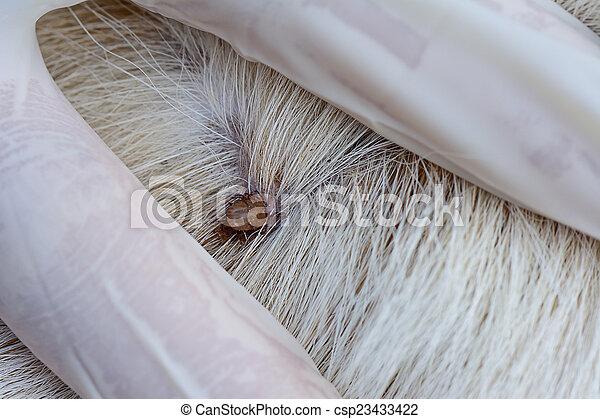 closeup of red ticks on white dog fur