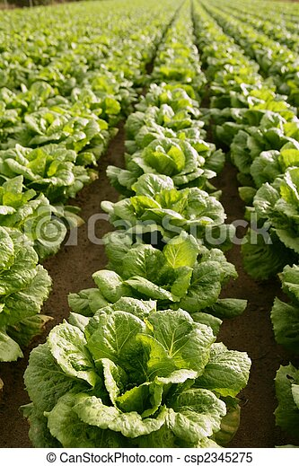 Cabbage fields in Spain - csp2345275