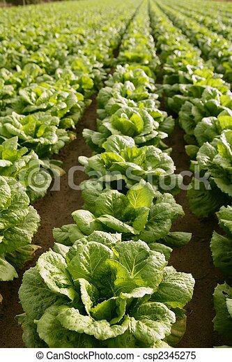 Cabbage fields in Spain - csp2345275