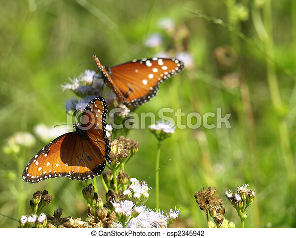 Monarch Butterfly - csp2345942