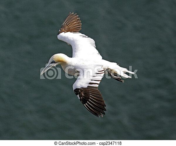 Gannet bird - csp2347118