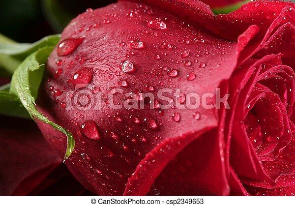 Wet close up macro rose petals, water drops - csp2349653