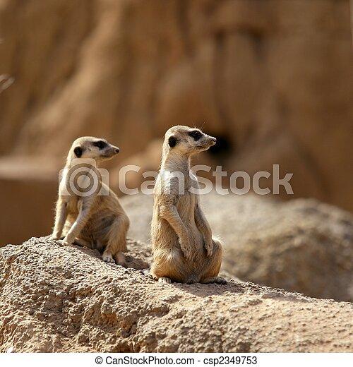 Two suricata standing alert. - csp2349753