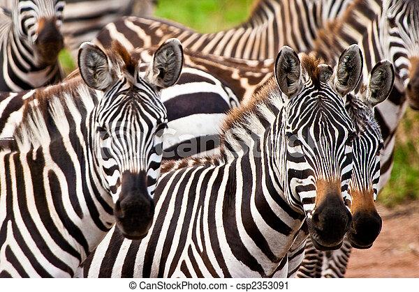 zebra, tier - csp2353091