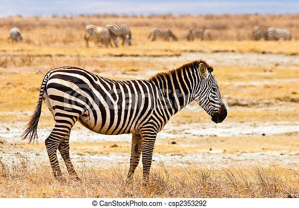 Zebra animal walking in the serengeti - csp2353292