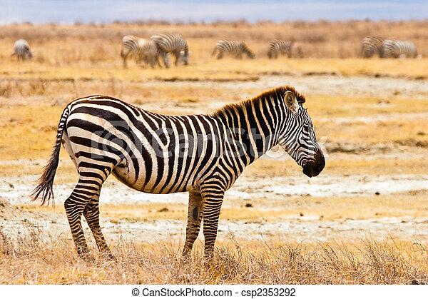 Zebra animal walking in the serengeti - csp2353292