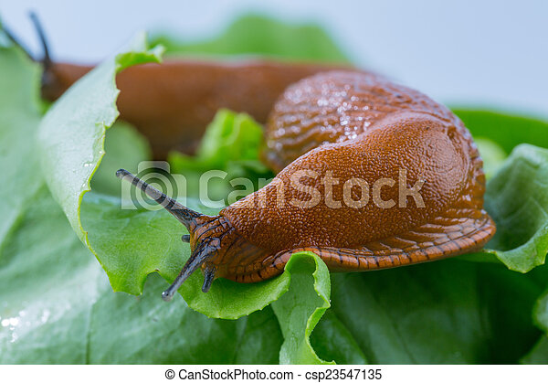 Stock de fotos de lechuga hoja caracol un babosa en for Caracol de jardin alimentacion