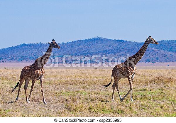 國家, 長頸鹿, 公園, 動物 - csp2356995