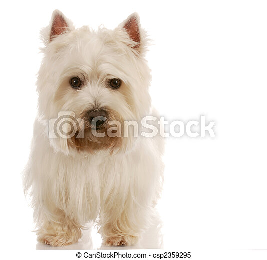 west highland white terrier standing with reflection on white background - csp2359295
