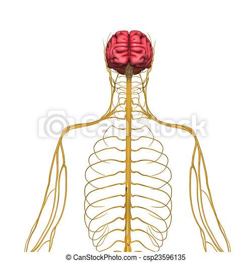 Nervous System Drawing Nervous System Csp23596135
