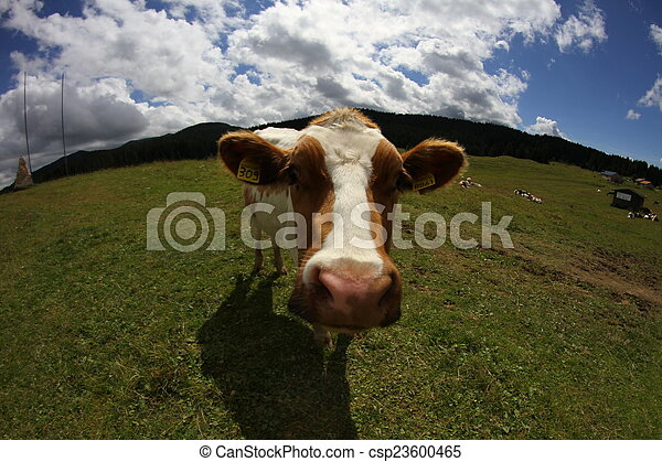Mountain cow photographed with fish eye lens and blue sky with m