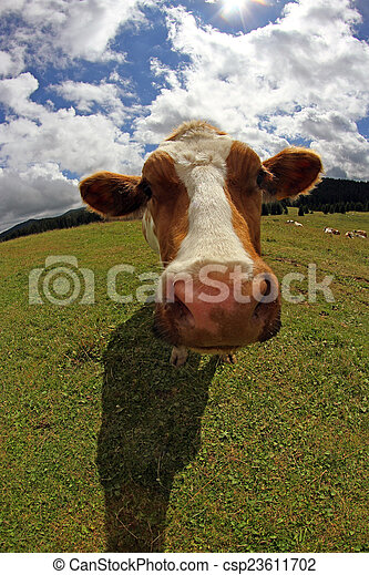 cow photographed with fish eye lens and blue sky with many cloud