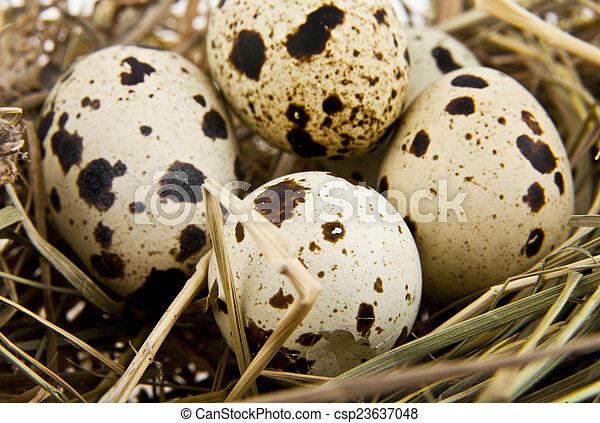 quail eggs in a nest - csp23637048