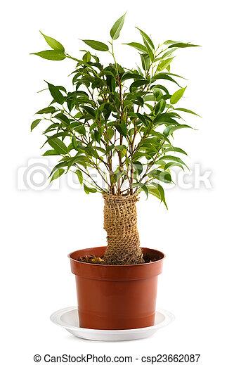 Pel culas de benjamina ficus ficus arpillera envuelto - Ficus benjamina precio ...