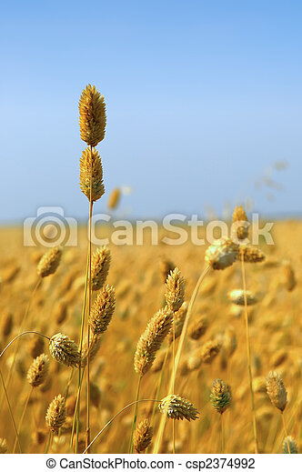 Commercial Canary Seed Crop - csp2374992