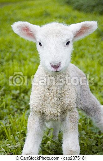Soft Lamb - csp2375181