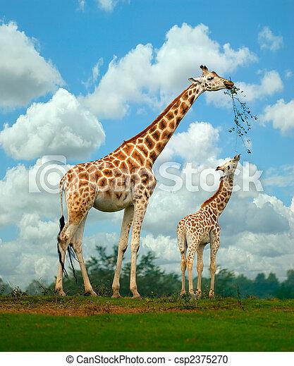 Giraffe - csp2375270