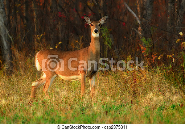 White Tailed Deer at Forest Edge - csp2375311