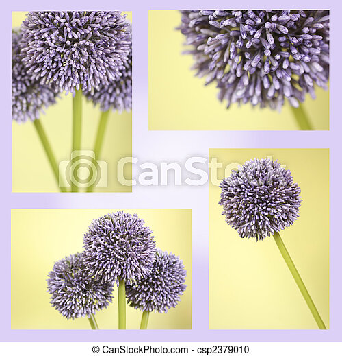 Montage of purple Alium flowers - csp2379010