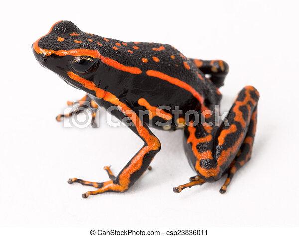 Poison Dart Frog Clip Art