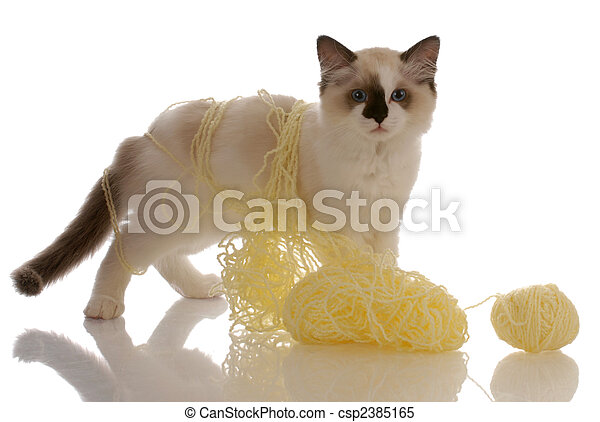 purebred ragdoll kitten playing with yellow yarn - csp2385165