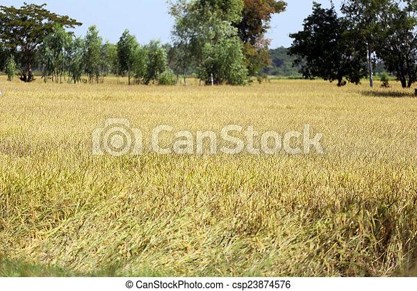 Rice fields in rural. - csp23874576