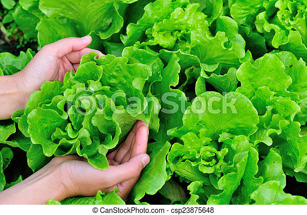Stock photo of woman hands picking green lettuce in vegetable garden csp23875648 search stock for How to pick lettuce from garden
