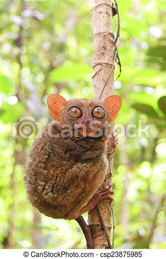 phillipine tarsier in tropical forest