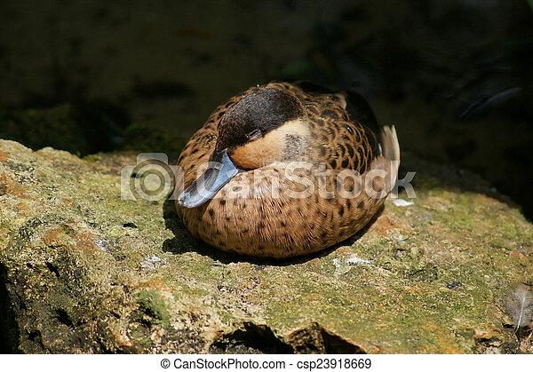 Sleeping Duck - csp23918669