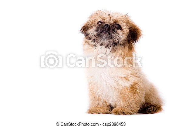 Sitting pekingese dog - csp2398453