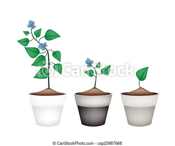 Beans Plant Drawing Vector Winged Beans Plants