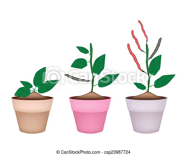 Beans Plant Drawing Kidney Bean Plant in Ceramic