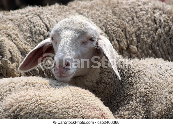 Flock of Sheep in the Taunus mountains - csp2400368